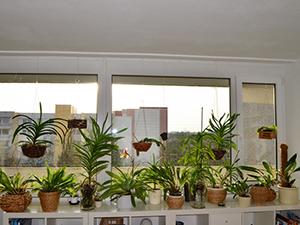 Zimmerpflanzen Sonnenfenster orchideen auf der fensterbank orchideen forum