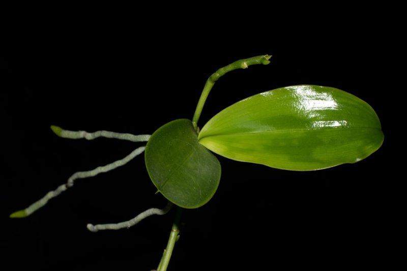 Vermehrung Von Orchideen Orchideen Forum