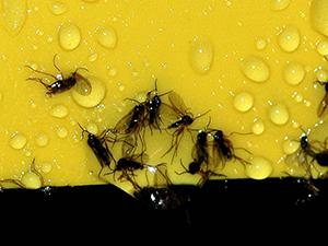 Trauerm cken orchideen forum for Kleine schwarze fliegen blumenerde